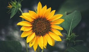sunflower_blooming